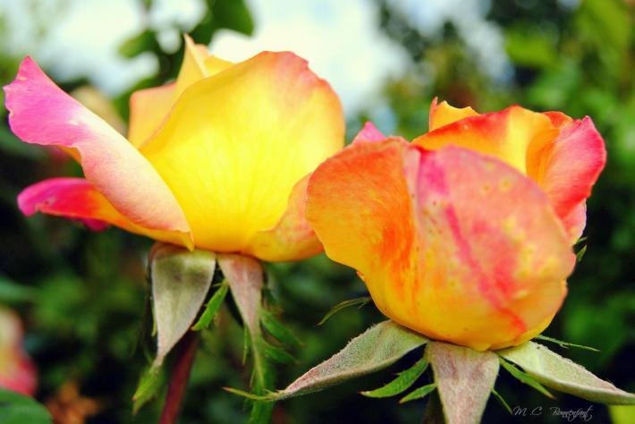 Deux roses jaune orangé.