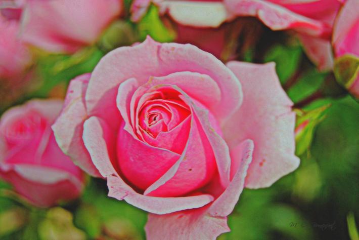 Rose lumière