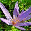 colchiques-grande-fleur-parme-.jpg