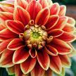 fleur-dalhia-orange-jaune-rouge-2-1.jpg
