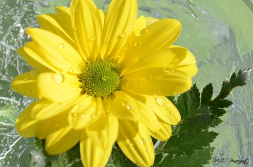 fleur-jaune-petales-gouttes-2.jpg