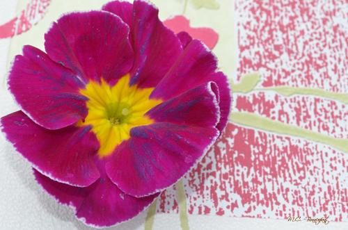 fleur-rose-fushia-jaune-2.jpg