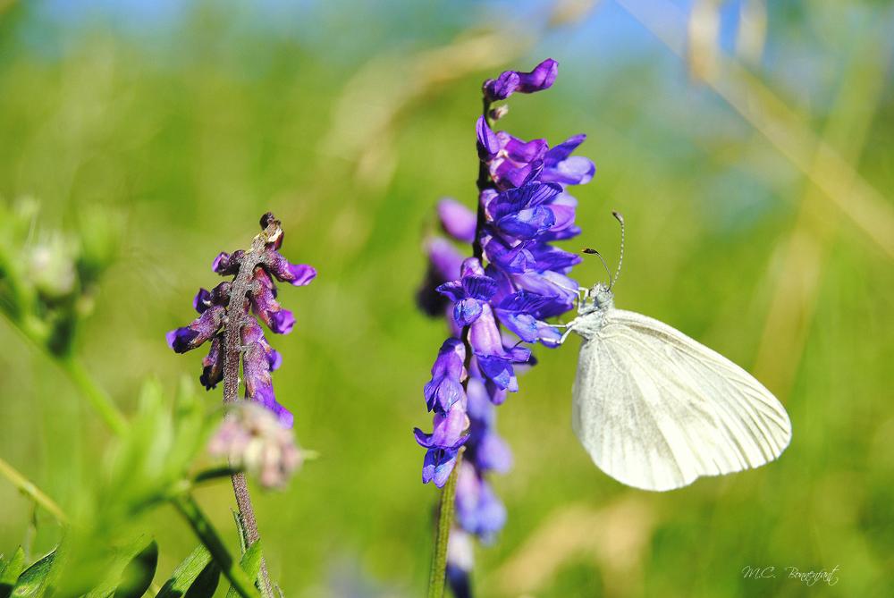 Photos d 39 insectes de papillons insects butterflies - Papillon fleur ...