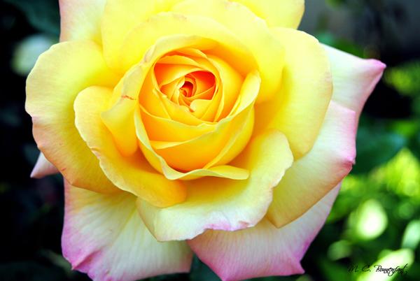 photos de fleurs colorées sauvages et de nos jardins : roses